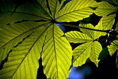 Leaves. Several leaves expose in the sun Stock Photography