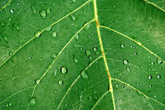 Leaves. Water drops on leaves after rain Stock Photos