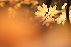 Leaves. Maple leaves back lit with blur of leaves in forground royalty free stock image
