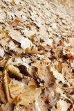 Leaves. Brown autumn leaves in forest Stock Photo