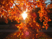 Through the Leaves. Photo of sunlight shining through the orange leaves of a tree in fall Royalty Free Stock Photos