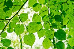 Leaves. Abstract green leaves agains the sky Stock Images