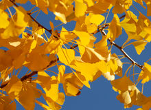 Leaves 47. Fall leaves of the ginkgo tree over blue sky Stock Photos