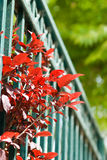 Leaves. Red leaves growing through fence stock images