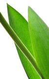 Leaves. Tulip leaves isolated on white background royalty free stock photos