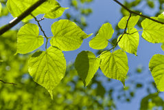 Leaves. Green leaves on brunches under blue sky stock photography