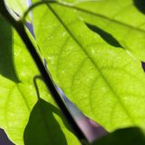 Leaves. Close up of leaves lit by sunlight royalty free stock photography