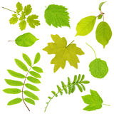 Leaves. Set of leaves  isolated on white background Royalty Free Stock Images