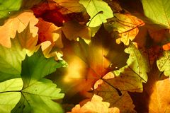 Leaves. Autumn leavs Royalty Free Stock Image