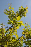 LEAVES. In clear azure sky background stock image
