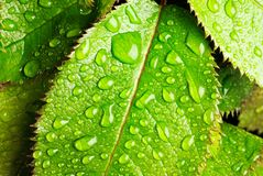 Leaves. Horizontal image of green leaves and raindrops Stock Images