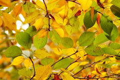 leaves. The colorful autumn leaves in the sun Stock Photo