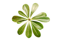 Leaves. The leaves on a white background Stock Photo