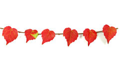 Leaves. Boston ivy in the fall of the bright red leaves Stock Image