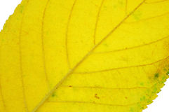Leaves. Cherry trees and yellow autumn leaves Royalty Free Stock Photos
