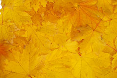 Leaves. Yellow autumn leaves for backgrounds Stock Photos