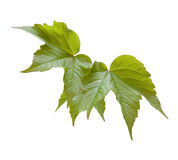 Leaves. Of canadian grapevine, isolated close up from garden Stock Images
