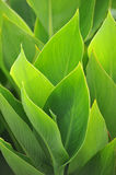 Leaves. Soft green leaves  reaching toward the sunlight Royalty Free Stock Images
