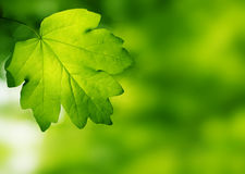 Leaves. Green leaves, shallow focus effect Royalty Free Stock Photo
