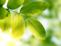 Leaves. Green leaves, shallow focus effect Royalty Free Stock Photos