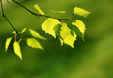 Leaves. Green leaves, shallow focus effect Stock Photography