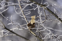 Leaves abandoned in the snowy branches Stock Image