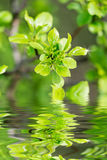 Leaves above the water Stock Photography