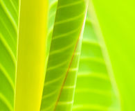 Leaves Abstract. Natural abstract of leaves of a banana tree species, Ensete Superbum Stock Image