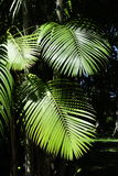 Leaves of the acai palm Royalty Free Stock Photos