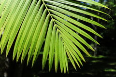 Leaves of the acai palm Stock Image