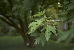 Acer saccharinum tree. Leaves of Acer saccharinum tree in summer royalty free stock images