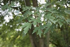 Acer saccharinum tree. Leaves of Acer saccharinum tree in summer royalty free stock photography