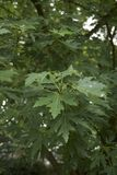 Acer saccharinum tree. Leaves of Acer saccharinum tree in summer stock photo