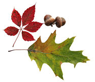 Leaves and acorn Stock Photos