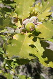 Leaves and acorns of pubescent oak Stock Images