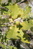 Leaves and acorns of pubescent oak Royalty Free Stock Photos