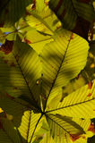 Leaves in afternoon sun. Some yellow / green leaves in the afternoon sun royalty free stock photo