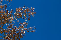 Leaves against the blue sky Royalty Free Stock Photo