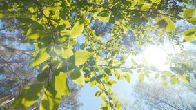 Leaves against a bright blue sky. Busch branches, view from the bottom. Floating camera. Slow motion stock footage