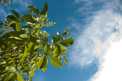 Leaves against deep blue sky Stock Photos