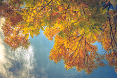 Leaves against the sky. Bright fall leaves against a blue sky Royalty Free Stock Photography