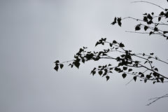 Leaves against sky. Leaves against a cloudy sky makes hight contrast image Royalty Free Stock Photography