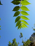 Leaves against the sun. Tree branch covered with leaves basking in the sunlight Stock Photography
