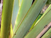 Leaves of an agave plant. Agave plant with origin New Zealand and Madagascar, Shrubs with two-line leaves, narrow sharp-edged leaves royalty free stock photo