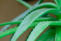 Leaves of aloe vera Stock Photos