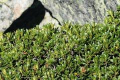 Leaves of alpenrose Royalty Free Stock Image