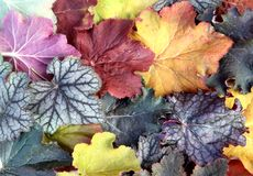 Leaves of alumroot (Heuchera) Stock Photography