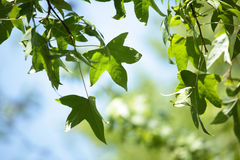 Leaves of amber tree Royalty Free Stock Photo