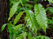 Leaves of American Chestnut tree. Green leaves of an American Chestnus tree Castanea dentata growing in a Western Pennsylvania forest. Once an important tree, it royalty free stock photos