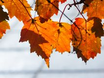 Leaves of Amur Maple or Acer ginnala in autumn against sunlight with bokeh background, selective focus, shallow DOF.  royalty free stock photos
